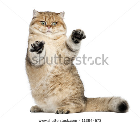 stock-photo-golden-shaded-british-shorthair-months-old